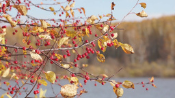Small Red Apples And Yellow Leaves On The Bran stock footage