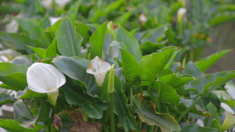 macro pan of yanmingshan flower Stock Video Footage