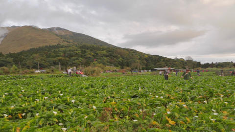pan - yanmingshan flower farm Footage
