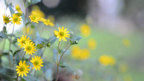 Ornamental Yellow Flower stock footage