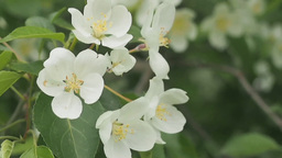 Flowers of blossoming apple tree Stock Video Footage