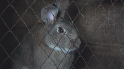Big Rabbit Sits In A Cage stock footage