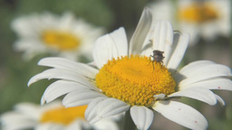 Macro of chamomile flower with a fly Footage