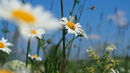 Blooming daisies on summer meadow Stock Video Footage