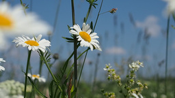 Blooming daisies on summer meadow Stock Video Footage