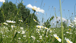 Camomiles on a bright summer meadow Footage