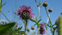 Blooming thistle on a summer meadow Footage
