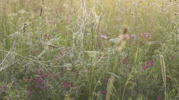 Morning meadow with wet spider webs on grass Footage