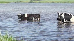 Cow went into the water on a hot summer day be Footage