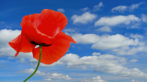 Poppies with blue sky and clouds in the background Footage