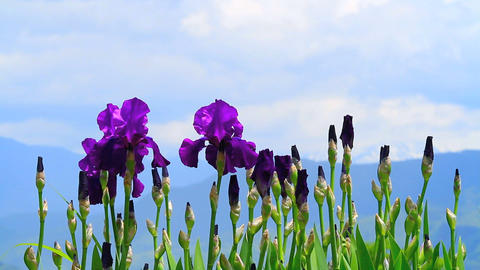 Iris Flowers stock footage