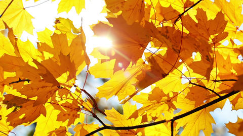 Maple Leaves and Sun Footage