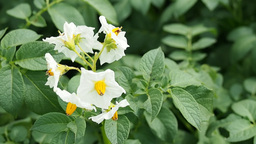 White flowers of blooming potato Stock Video Footage