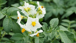 Plantation of blooming potato Stock Video Footage