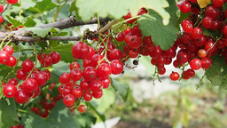 Ripe red currant berries on a bush Footage