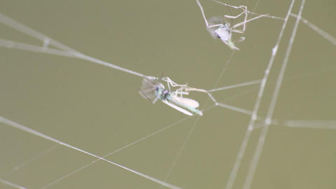 insects mosquitoes in a trap a web macro Footage