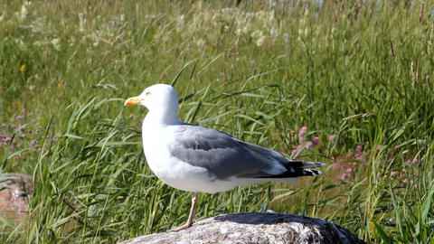 seagull looks around sitting on a stone among reed Footage