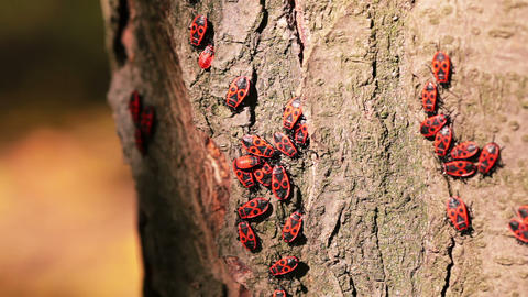 Firebugs on a Tree Trunk Stock Video Footage