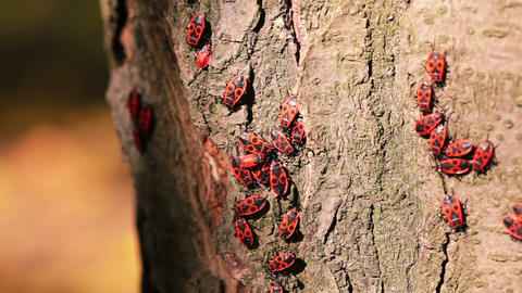 Firebugs On A Tree Trunk stock footage