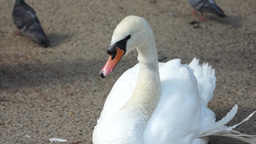 White Swan Sitting On Sand stock footage