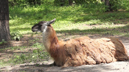 Lama Lying On The Ground In The Shade Of Trees stock footage