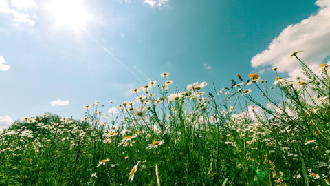 White and Yellow Daisies, on sky background Footage