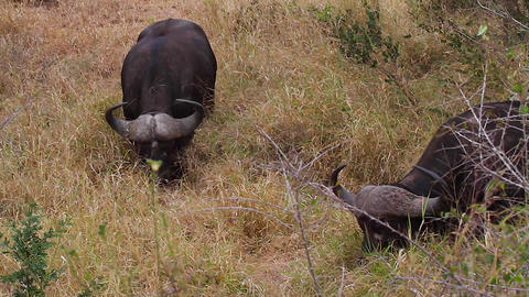 a close side angle shot of an african buffalo feed Stock Video Footage