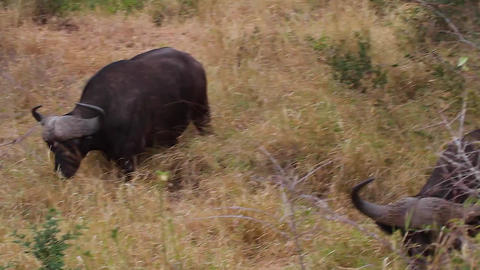 A Close Side Angle Shot Of An African Buffalo Feed stock footage