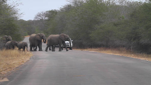 a family of elephants cross the road while an SUV  Footage