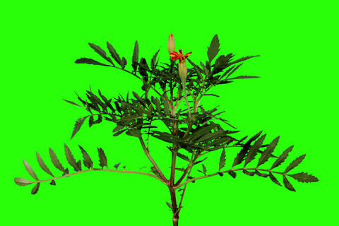 4K. Blooming orange tagetes flower buds green scre Stock Video Footage