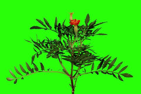 4K. Blooming orange tagetes flower buds green scre Footage