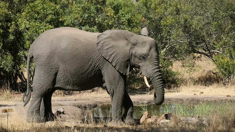 African elephant at waterhole Filmmaterial