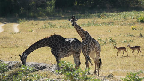 Giraffes at waterhole Footage