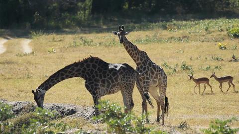 Giraffes at waterhole Footage