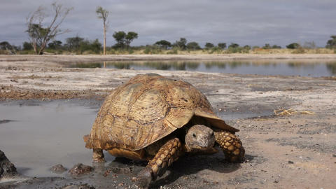 Leopard tortoise Footage