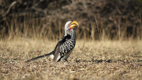 Yellow billed hornbill Footage