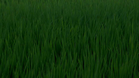 dancing grass in yilan - macro Footage