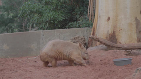 a golden wombat proudly drinks from his bowl befor Footage