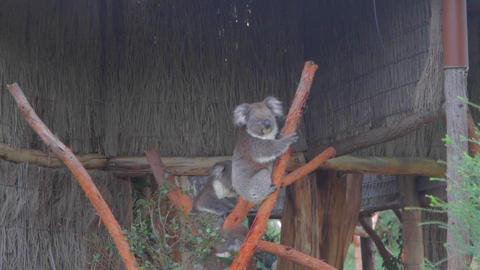 Cleland national park koala turns to look at the c Stock Video Footage