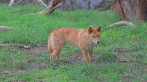 a cleland national park dingo walks around sniffin Footage