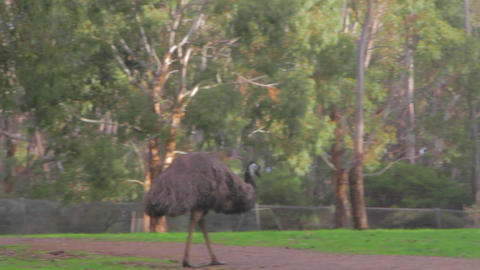 a cleland national park emus (similar to ostrich)  Footage