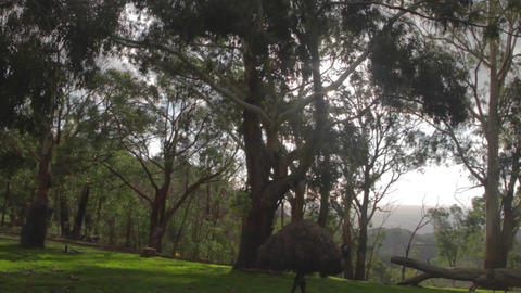 pan of the park reveals some emus birds walking am Stock Video Footage