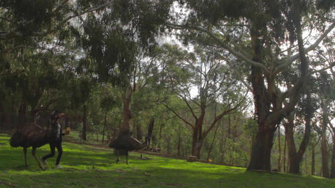 pan of the park reveals some emus birds walking am Footage