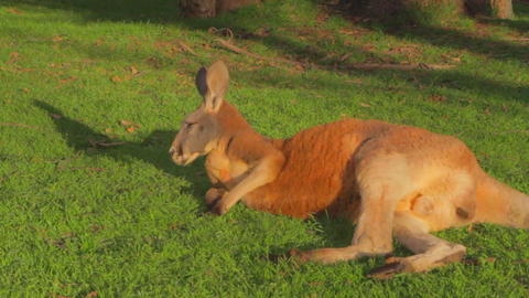 a close shot of a red brown kangaroo lying on the Stock Video Footage