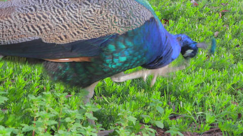 a vibrant colorful peacock looks for food in the g Stock Video Footage