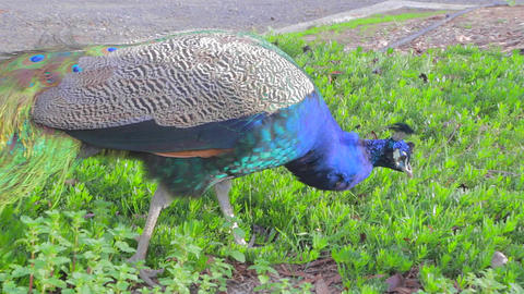 a vibrant colorful peacock looks for food in the g Footage