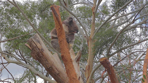 great shot of some koala's waking up looking aroun Stock Video Footage