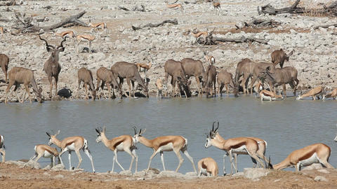 Antelopes at waterhole Stock Video Footage