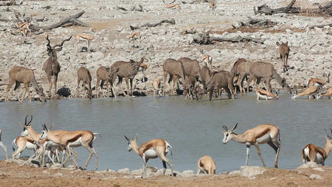 Antelopes at waterhole Footage