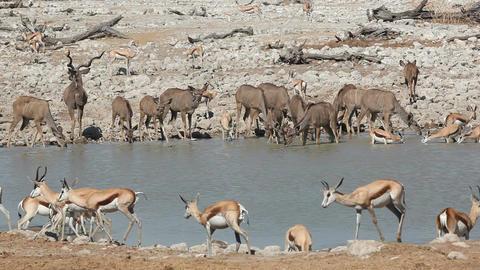 Antelopes at waterhole Footage